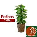 観葉植物 ポトス 7号鉢(ヘゴ仕立) インテリア 開店祝い 新築祝い お祝い 誕生日 母の日