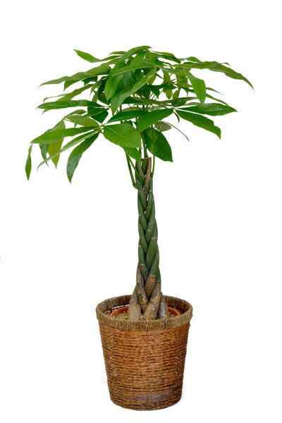 すっかり定番、三つ編み?五つ編み?パキラ8号鉢 観葉植物 インテリア 大型 開店祝い 新築祝い アジアン 父の日