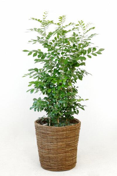 シルクジャスミン 観葉植物 シルクジャスミン ゲッキツ 8号鉢 大型 観葉植物 敬老の日
