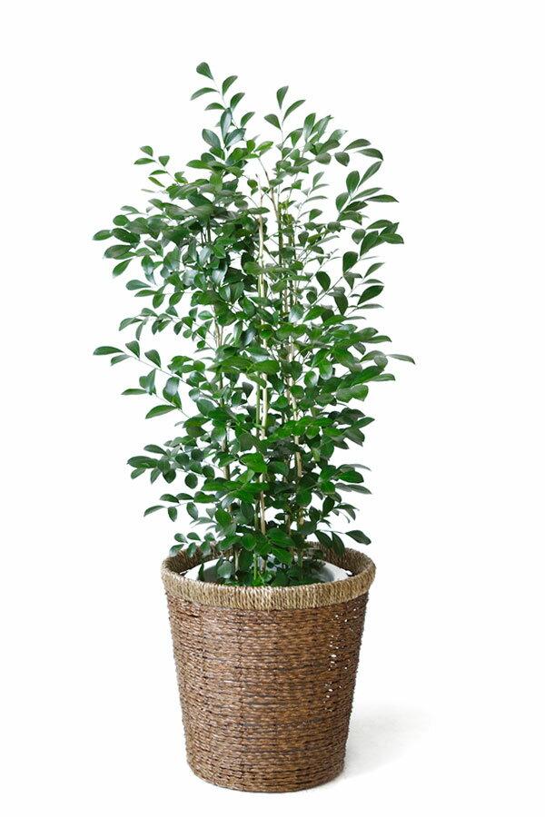 シルクジャスミン 観葉植物 シルクジャスミン ゲッキツ 8号鉢 大型 観葉植物 父の日