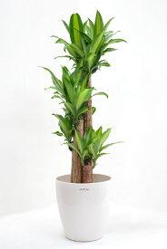 幸せになりますように、観葉植物 ドラセナ・マッサンゲアナ 幸福の木 8号鉢 【インテリア】 観葉植物 大型 開店祝い 引越し祝い