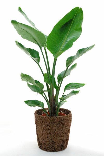オーガスタ 観葉植物 オーガスタ 8号鉢 大型 インテリア 開店祝い お祝い 引越し祝い 敬老の日 ビジネス 即日 開店 オープン