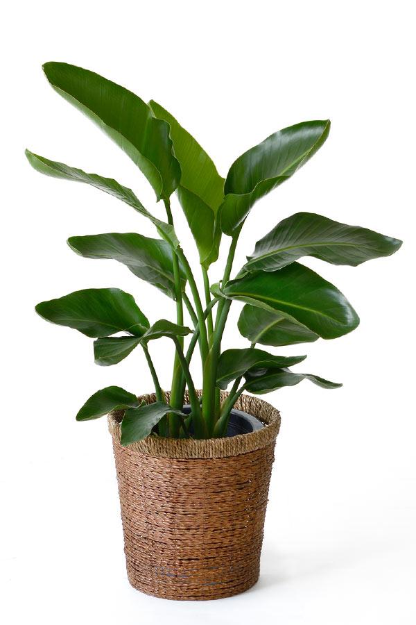 オーガスタ 観葉植物 オーガスタ 8号鉢 大型 インテリア 開店祝い お祝い 引越し祝い ビジネス 即日 開店 オープン 父の日