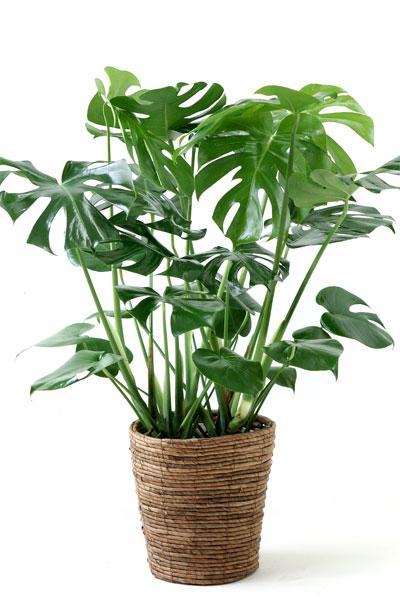 少し大きなモンステラ♪ヒメモンステラ7号鉢【観葉植物】贈答・お祝い・法人ギフトに!【大型】【モンステラ】【インテリア】 観葉植物 父の日