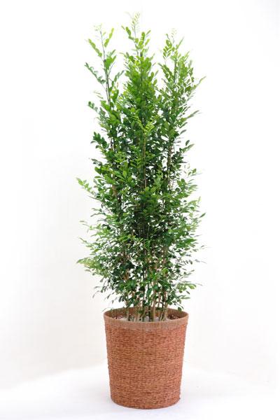 シルクジャスミン 観葉植物 ゲッキツ(シルクジャスミン)10号 大型 観葉植物 父の日