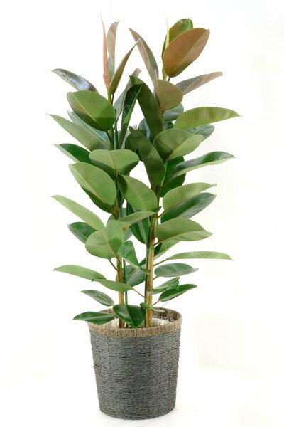 ゴムの木 観葉植物 フィカス・ロブスター ゴムの木 10号鉢(大鉢) お祝い 大型 アジアン インテリア 観葉植物 父の日