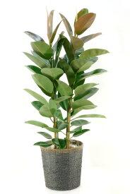 ゴムの木 観葉植物 フィカス・ロブスター ゴムの木 10号鉢(大鉢) お祝い 大型 アジアン インテリア 観葉植物