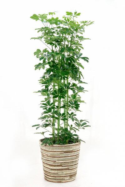 ホンコンカポック10号鉢 観葉植物 お祝い 大型 インテリア アジアン 観葉植物 カポック 父の日