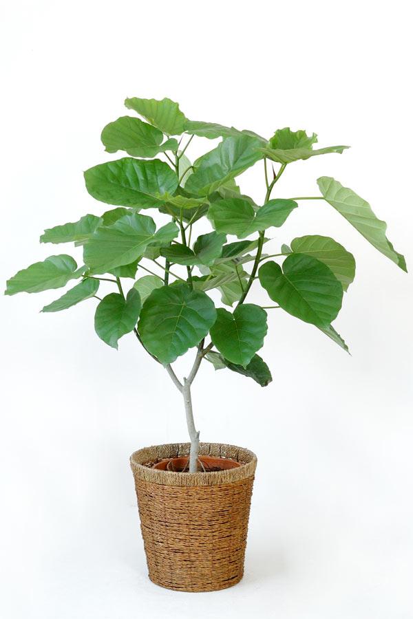 ウンベラータ 観葉植物 フィカス ウンベラータ 8号鉢 大型 インテリア アジアン おしゃれ 引越し祝い 開店祝い 新築祝い お祝い 観葉植物 フィカス属 父の日