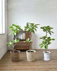 観葉植物フィカス・アルテシーマ8号鉢曲がり樹形引越し祝い開店祝い新築祝い大型観葉植物アルテシマフィカス属