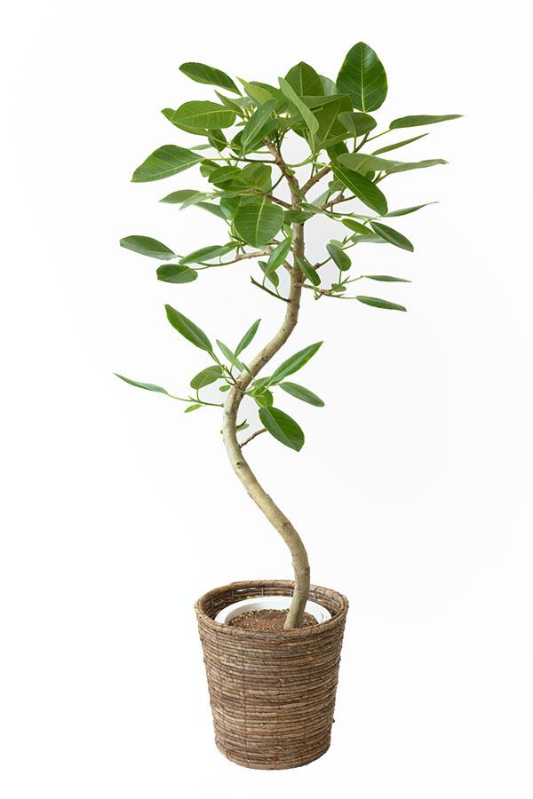 観葉植物 フィカス・アルテシーマ8号鉢 引越し祝い 開店祝い 新築祝い 大型 観葉植物 アルテシマ フィカス属 母の日