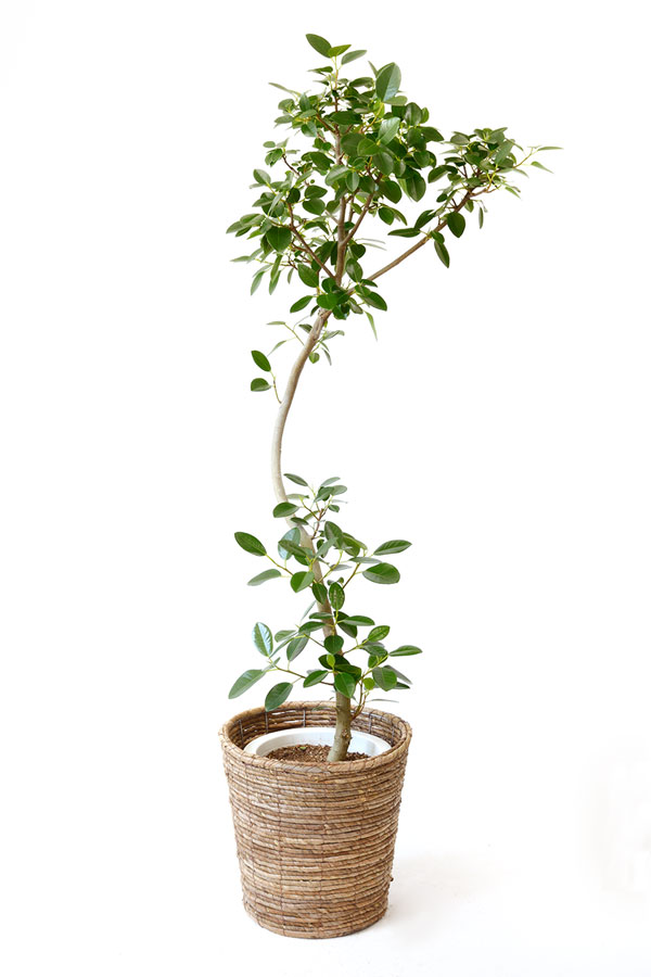 観葉植物 フランスゴム8号鉢 フランス ゴムの木 フィカス・ルビギノーサ 引越し祝い 開店祝い 新築祝い 大型 敬老の日 フィカス属