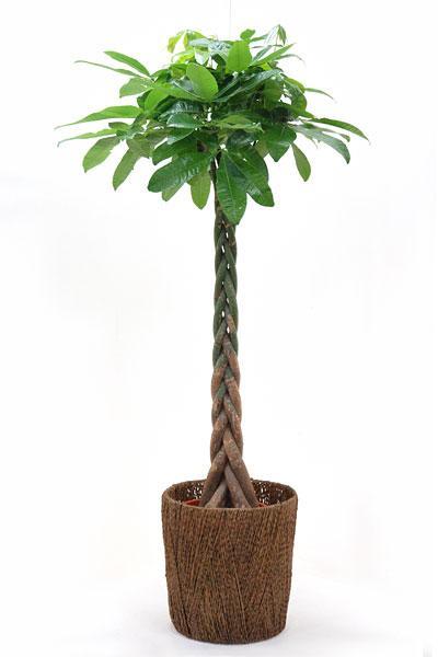 観葉植物 パキラ 10号鉢 お祝い 大型 インテリア 観葉植物 敬老の日 開店祝い 新築祝い