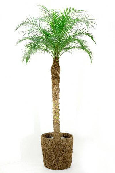 観葉植物 フェニックス ロベレニー ヤシの木 10号鉢 大型観葉植物 インテリア 引越し祝い 観葉植物 ヤシの木 母の日