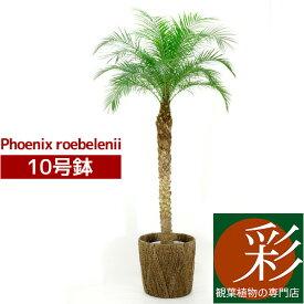 観葉植物 大きめフェニックス ロベレニー ヤシの木 10号鉢 大型観葉植物 インテリア 引越し祝い 観葉植物 ヤシの木