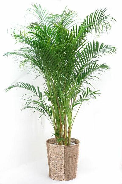 観葉植物 アレカヤシ10号鉢 大型 お祝い インテリア 開店祝 敬老の日