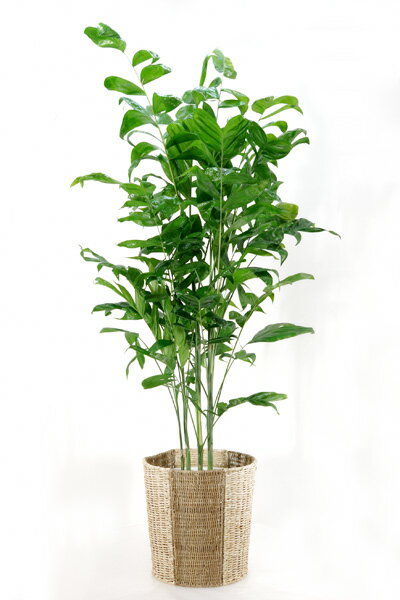 観葉植物 高性 チャメドレア 10号鉢 大型 インテリア 観葉植物 父の日