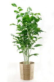 観葉植物 高性 チャメドレア 10号鉢 大型 インテリア アジアン 観葉植物
