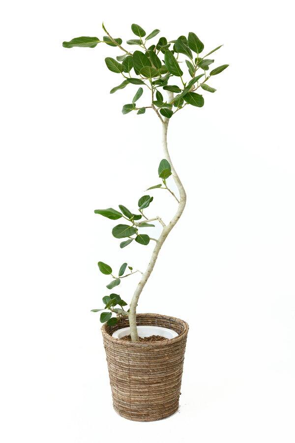 ベンガルボダイジュ8号鉢 大型 インテリア アジアン おしゃれ 引越し祝い 開店祝い 新築祝い お祝い 観葉植物 ベンガルゴム フィカス ベンガレンシス フィカス属 母の日