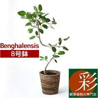 ベンガルボダイジュ8号鉢曲がり樹形大型インテリアアジアンおしゃれ引越し祝い開店祝い新築祝いお祝い観葉植物ベンガルゴムフィカスベンガレンシスフィカス属