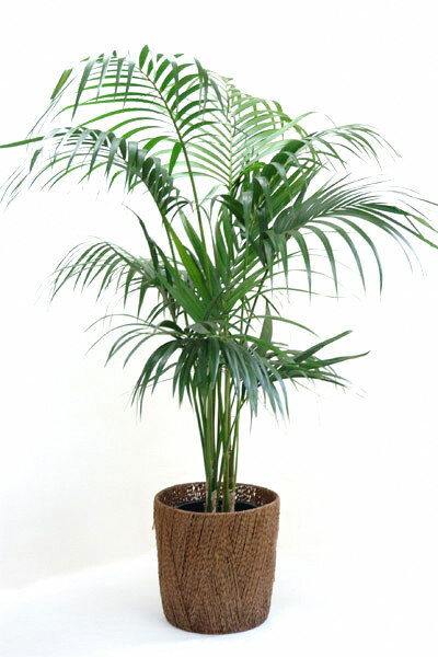 【お取り寄せ】 雄大な大型ヤシケンチャヤシ 10号鉢  贈答・お祝い・法人ギフトに!【観葉植物】【大型】【アジアン】【インテリア】 観葉植物 父の日