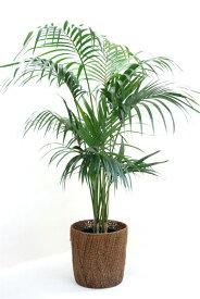 【お取り寄せ】 雄大な大型ヤシケンチャヤシ 10号鉢  贈答・お祝い・法人ギフトに!【観葉植物】【大型】【アジアン】【インテリア】 観葉植物