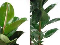 観葉植物5種類の樹種から選べる10号鉢カバー付セット幸福の木ストレリチア・オーガスタユッカ・エレファンティペスホンコンカポックフィカスロブスターインテリアおしゃれ開店祝い大型ゴムの木