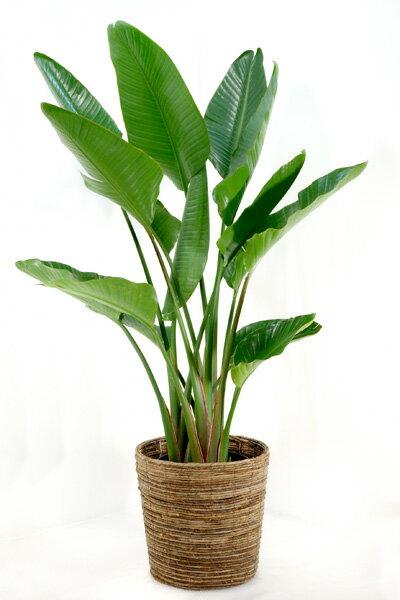 オーガスタ 観葉植物 ストレリチア オーガスタ 10号 大型観葉植物 インテリア 開店祝い お祝い 父の日