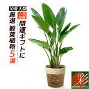 観葉植物 5種類の樹種から選べる 10号 鉢カバー付セット 幸福の木 ストレリチア・オーガスタ ユッカ・エレファンティ…