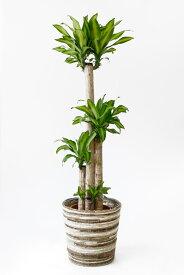幸福の木 観葉植物 幸福の木 10号鉢 お祝い 大型 インテリア 観葉植物