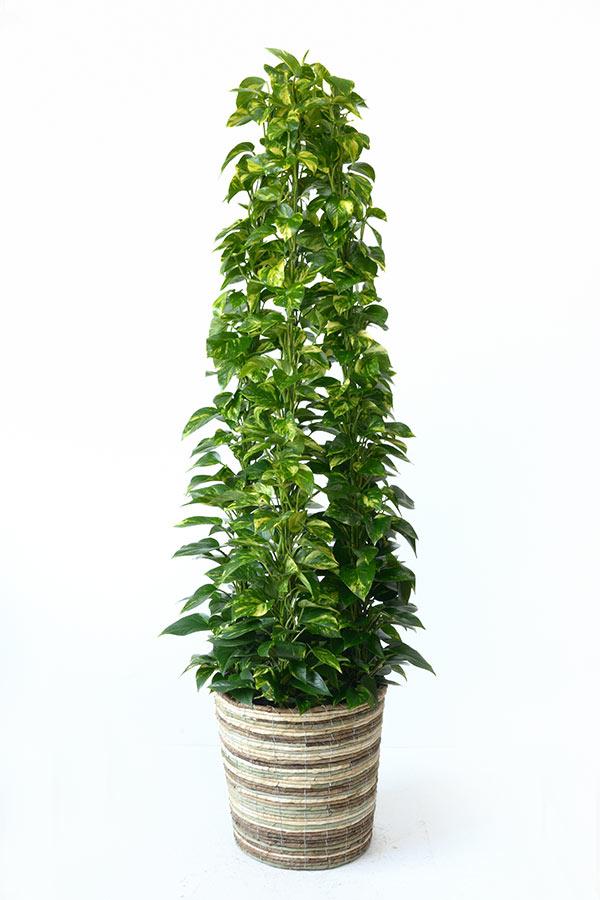 ハート型の葉っぱポトス(オウゴンカズラ)タワー仕立て10号鉢(大鉢)【観葉植物】お祝い・法人ギフトに!【大型】【インテリア】【アジアン】 おしゃれ 観葉植物 母の日