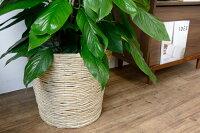 観葉植物マングーカズラ10号鉢大型開店祝い新築祝いお祝い母の日
