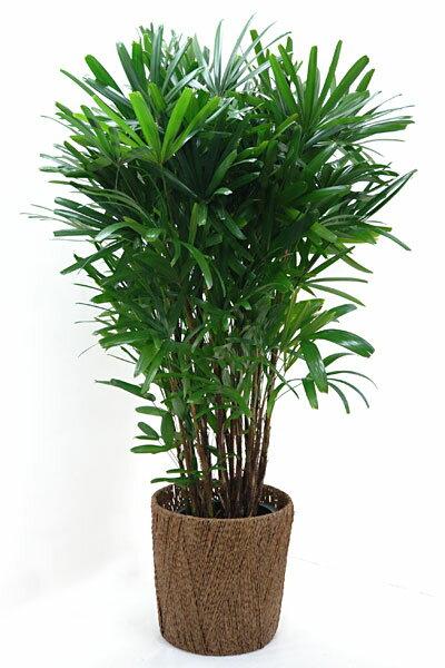 【お取り寄せ】カンノンチク 観音竹 10号鉢 観葉植物 お祝い 大型 インテリア アジアン 観葉植物 敬老の日