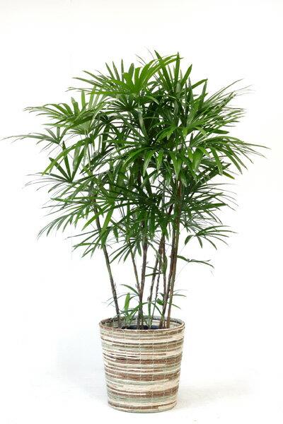 【お取り寄せ】 シュロチク 棕櫚竹 10号鉢 観葉植物 大型 インテリア 観葉植物 父の日