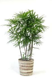 【お取り寄せ】 シュロチク 棕櫚竹 10号鉢 観葉植物 大型 インテリア 観葉植物 アジアン 和風