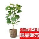 現品 観葉植物 フィカス ウンベラータ 10号鉢  選べる樹形  大型 インテリア アジアン おしゃれ 引越し祝い 開店祝い 新築祝い お祝…