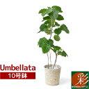 観葉植物 選べる樹形 フィカス・ウンベラータ 10号鉢 直幹 曲がり幹 大型 インテリア 開店祝い お祝い 新築祝い おしゃれ インテリア …