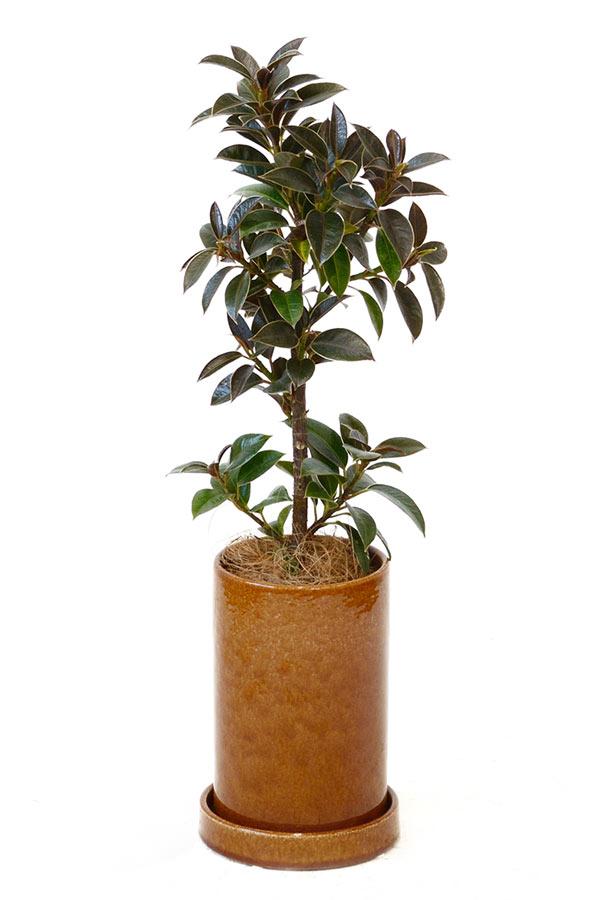観葉植物 オレンジチムニーポット マイクロゴムの木 インテリア 鉢 おしゃれ オフィス セット 北欧 彩植健美セレクトポット 御祝 開店祝 開業祝 新築祝 引越祝 結婚祝 新生活 父の日
