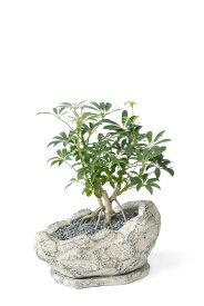観葉植物 シェフレラコンパクター ストーンポット インテリア 開店祝い お祝い 新築祝い