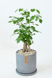 希少 レア 観葉植物 根上がり ヘテロパナックス おしゃれなコンクリートシリンダーポット グレー 大型 インテリア 開店祝い お祝い 新築祝い