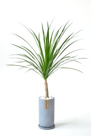 希少 レア 観葉植物 ドラセナ・カンボジアーナ おしゃれなコンクリート トールシリンダーポット 花言葉「幸福」グレー 大型 インテリア 開店祝い お祝い 新築祝い