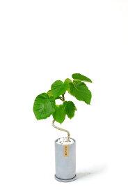 観葉植物 フィカス・ウンベラータ おしゃれなコンクリート トールシリンダーポット グレー 大型 インテリア 開店祝い お祝い 新築祝い