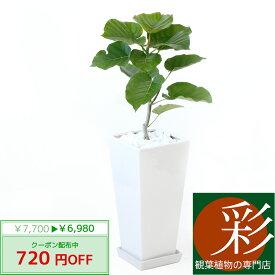 ◆限定クーポン配布中◆観葉植物 フィカス・ウンベラータ スクエア白陶器 送料無料 開店祝い お祝い 大型 インテリア アジアン 観葉植物