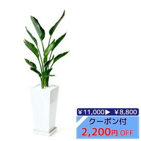 ◆限定クーポン配布中◆観葉植物 ストレリチア レギネ スクエア白陶器 送料無料 開店祝い お祝い 大型 インテリア アジアン 観葉植物