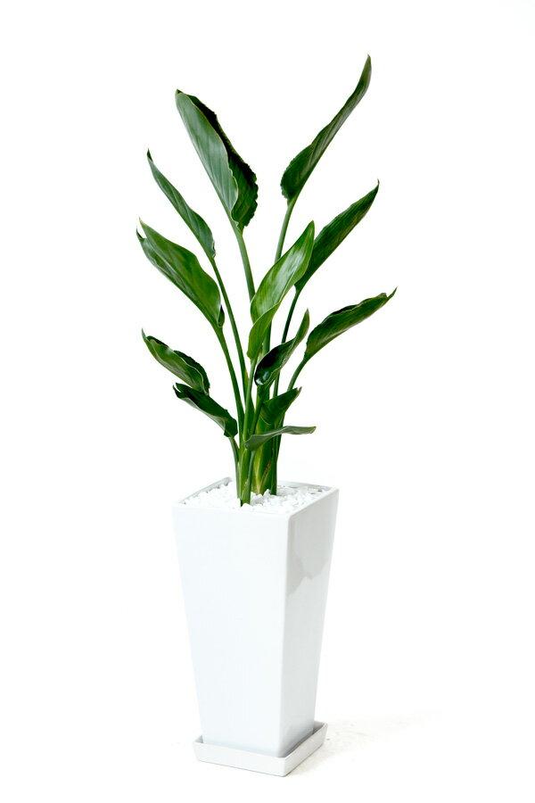 観葉植物 ストレリチア レギネ スクエア白陶器 送料無料 開店祝い お祝い 大型 インテリア アジアン 観葉植物 敬老の日