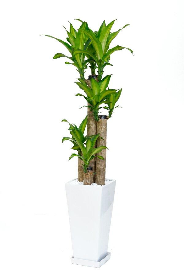 幸福の木 スクエア白陶器 観葉植物 インテリア 大型 開店祝い 新築祝い お祝い ドラセナ 敬老の日