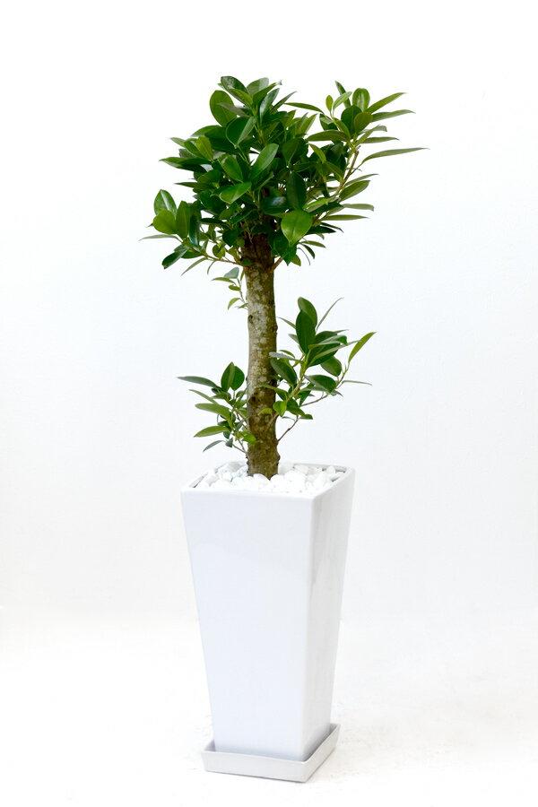 観葉植物 ガジュマル スクエア白陶器 インテリア 新築祝い 開店祝い 大型 おしゃれ フィカス属 父の日