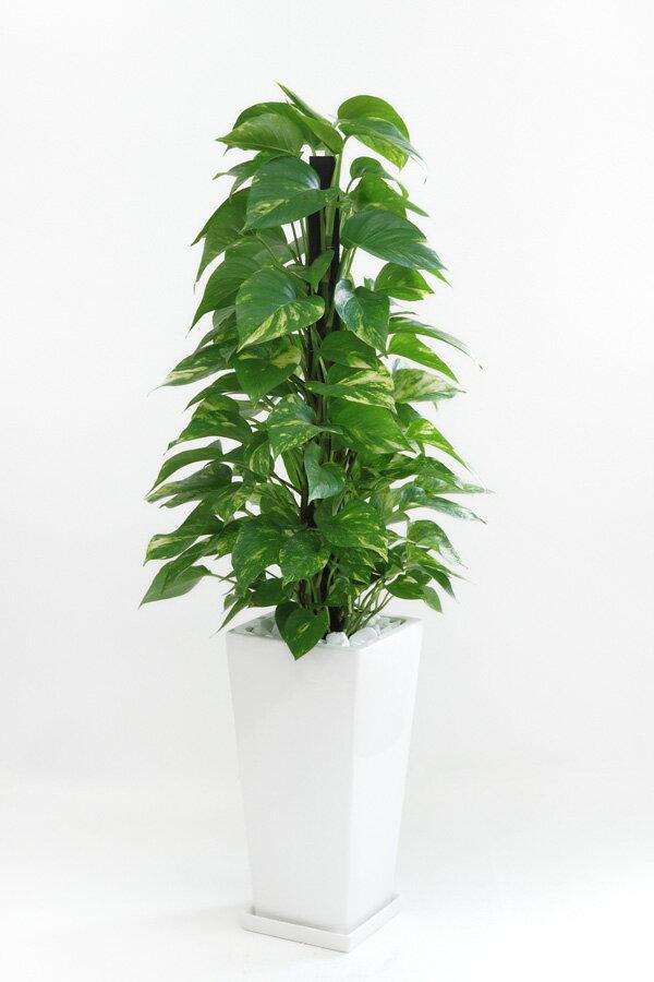 観葉植物 ポトス ヘゴ仕立て スクエア 白 陶器 インテリア 大型 開店祝い 新築祝い 観葉植物 母の日