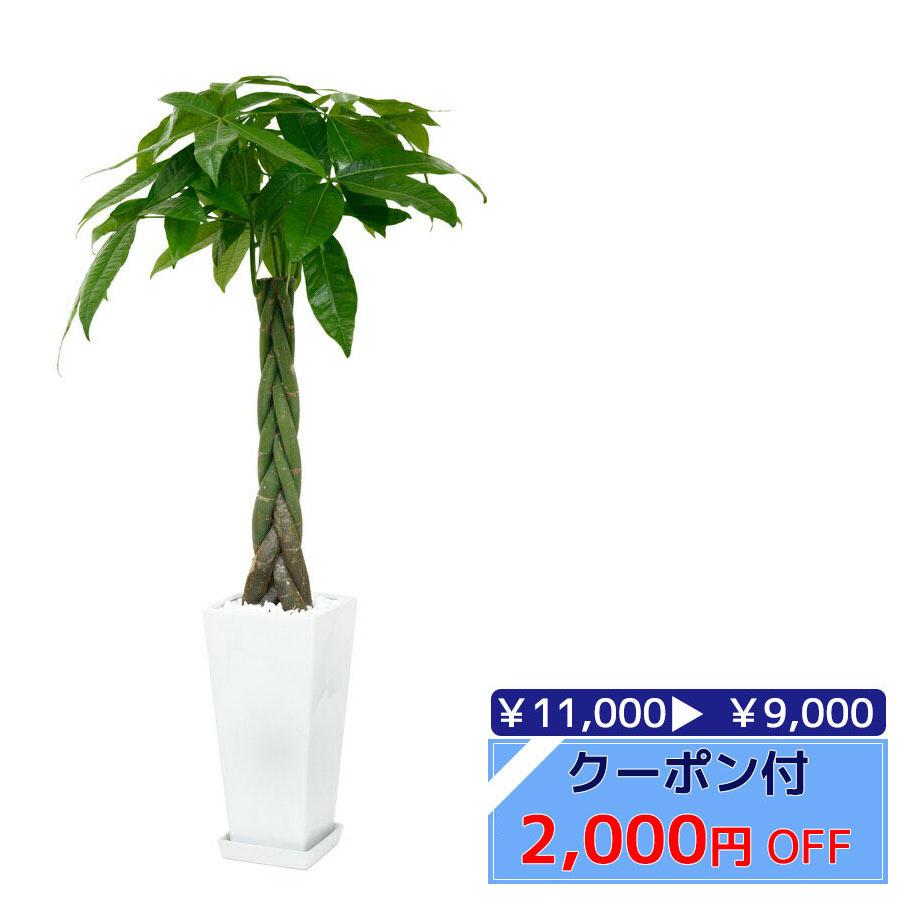 ◆限定クーポン配布中◆パキラ 観葉植物 スクエア鉢 白陶器入り インテリア 大型 開店祝い アジアン おしゃれ 母の日