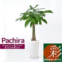 パキラ観葉植物シャイニーホワイトラウンドポット白陶器入りインテリア大型開店祝いアジアンおしゃれ